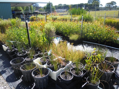 A variety of native plants available for sale at the CEC nursery